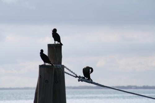 cormorantpiling