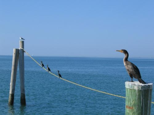 cormorant_piling