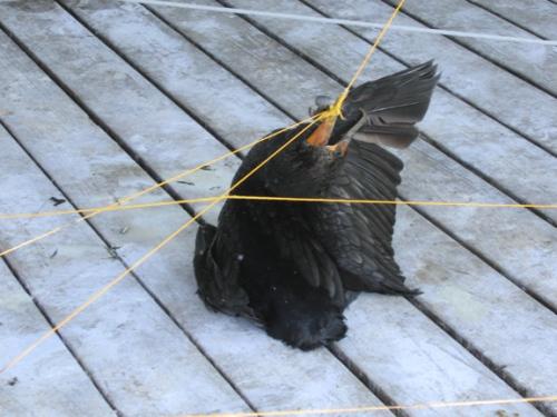 dead_cormorant