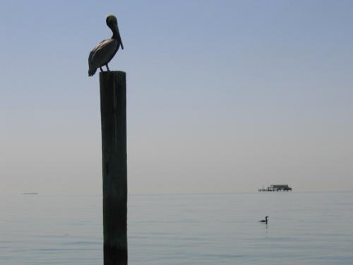 pelican_piling