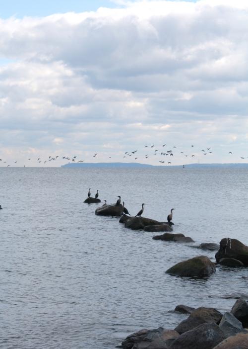 SIcormorants